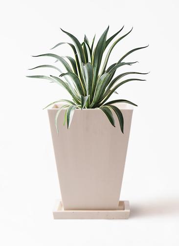観葉植物 アガベ 7号 ベネズエラ パウダーストーン 白 付き