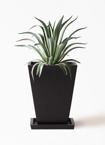 観葉植物 アガベ 7号 ベネズエラ パウダーストーン 黒 付き