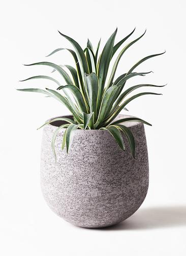 観葉植物 アガベ 7号 ベネズエラ エコストーンGray 付き