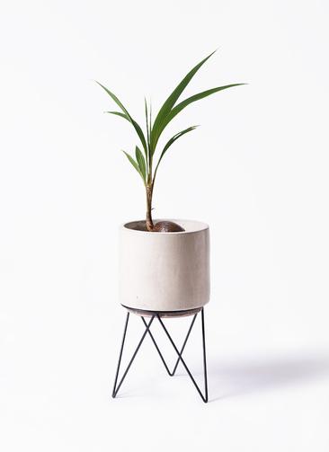 観葉植物 ココヤシ 7号 ビトロ エンデカ 鉢カバースタンド付 クリーム 付き