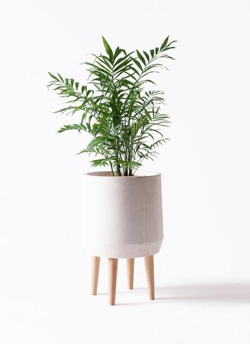 観葉植物 テーブルヤシ 7号 ファイバークレイ white 付き