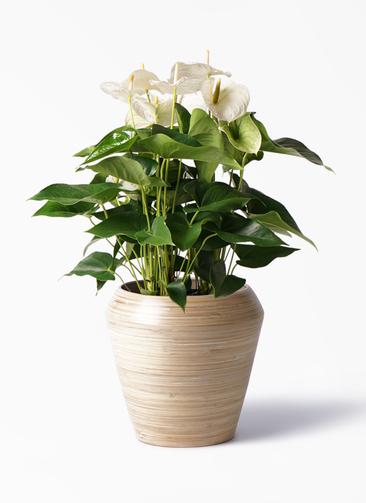 観葉植物 アンスリウム 8号 スミ アルマ ミドル 付き