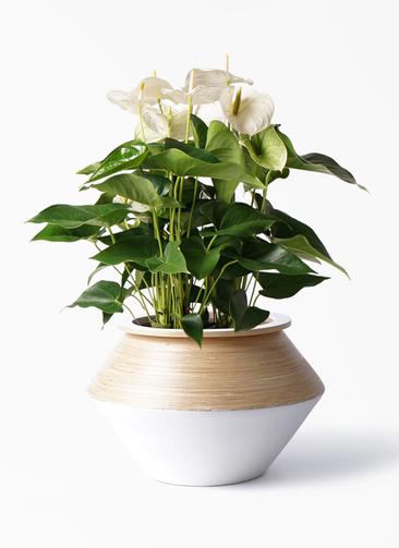 観葉植物 アンスリウム 8号 スミ アルマジャー 白 付き