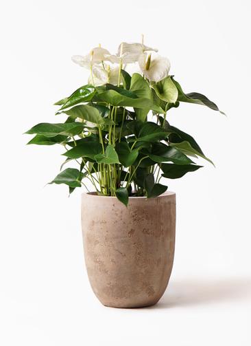 観葉植物 アンスリウム 8号 スミ ルーガ アンティコ アルトエッグ 付き