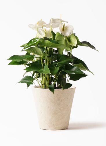 観葉植物 アンスリウム 8号 スミ フォリオソリッド クリーム 付き