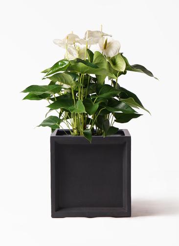 観葉植物 アンスリウム 8号 スミ ブリティッシュキューブ 付き