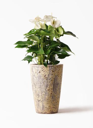 観葉植物 アンスリウム 8号 スミ アトランティス クルーシブル 付き