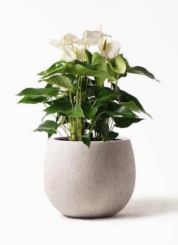 観葉植物 アンスリウム 8号 スミ テラニアス ローバルーン アンティークホワイト 付き