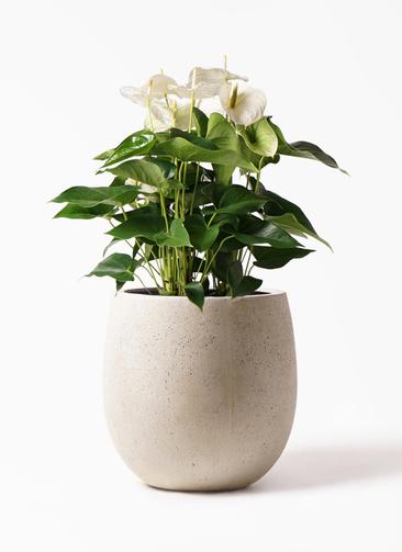 観葉植物 アンスリウム 8号 スミ テラニアス バルーン アンティークホワイト 付き
