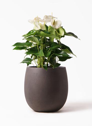 観葉植物 アンスリウム 8号 スミ テラニアス バルーン アンティークブラウン 付き