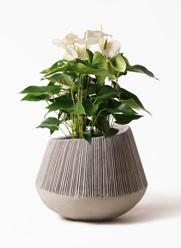 観葉植物 アンスリウム 8号 スミ エディラウンド グレイ 付き