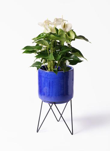 観葉植物 アンスリウム 8号 スミ ビトロ エンデカ 鉢カバースタンド付 ブルー 付き