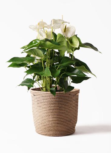 観葉植物 アンスリウム 8号 スミ リブバスケットNatural 付き