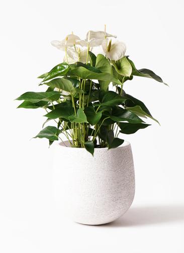 観葉植物 アンスリウム 8号 スミ エコストーンwhite 付き