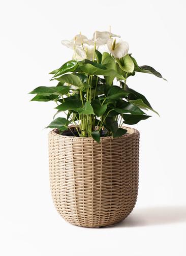 観葉植物 アンスリウム 8号 スミ ウィッカーポットエッグ ベージュ 付き
