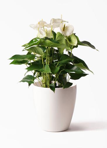 観葉植物 アンスリウム 8号 スミ ラスターポット 付き