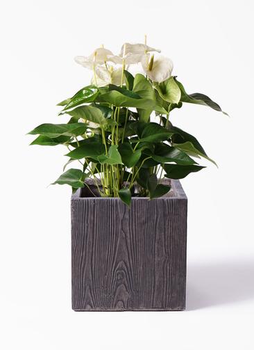 観葉植物 アンスリウム 8号 スミ ベータ キューブプランター ウッド 茶 付き
