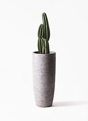 観葉植物 柱サボテン 8号 エコストーントールタイプ Gray 付き