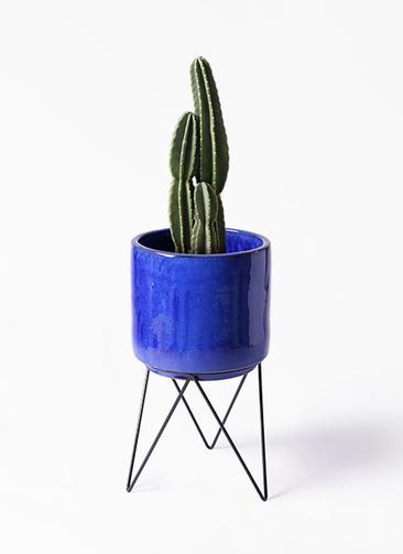 観葉植物 柱サボテン 8号 ビトロ エンデカ 鉢カバースタンド付 ブルー 付き