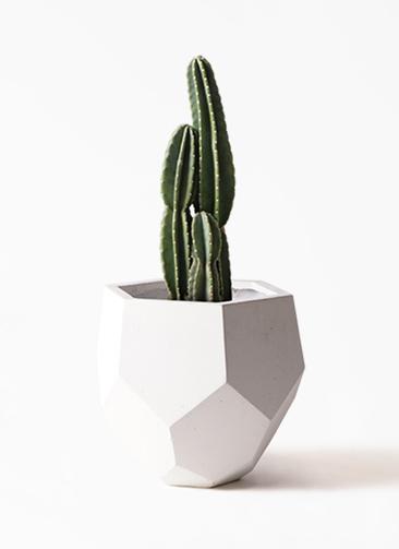 観葉植物 柱サボテン 8号 ポリゴヘクサ 白 付き
