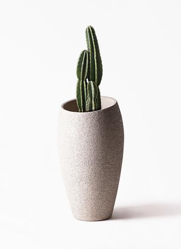 観葉植物 柱サボテン 8号 エコストーントールタイプ Light Gray 付き