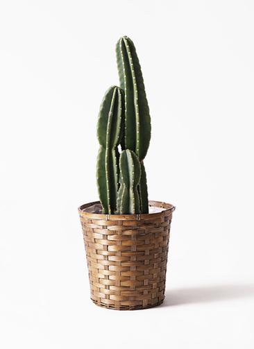 観葉植物 柱サボテン 8号 竹バスケット 付き