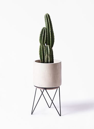観葉植物 柱サボテン 8号 ビトロ エンデカ 鉢カバースタンド付 クリーム 付き