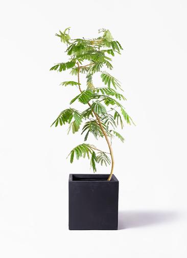 観葉植物 エバーフレッシュ 10号 曲り ベータ キューブプランター 黒 付き