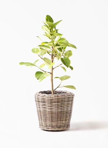 観葉植物 フィカス アルテシーマ 7号 ストレート モデリック ラタン 付き