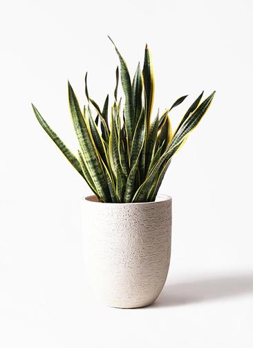 観葉植物 サンスベリア 10号 トラノオ ビアスアルトエッグ 白 付き