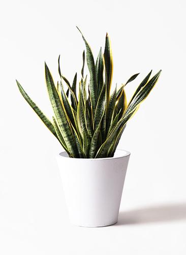 観葉植物 サンスベリア 10号 トラノオ フォリオソリッド 白 付き