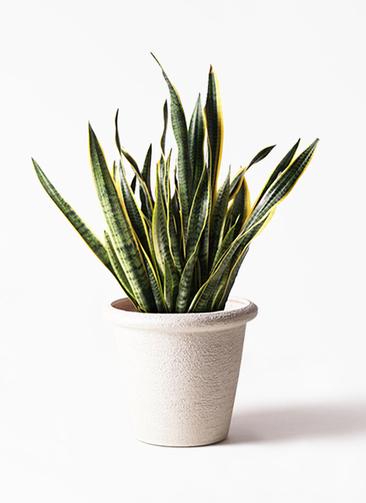観葉植物 サンスベリア 10号 トラノオ ビアスリムス 白 付き