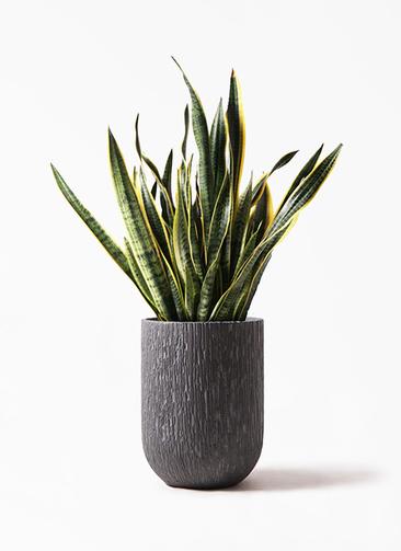 観葉植物 サンスベリア 10号 トラノオ カルディナトールダークグレイ 付き