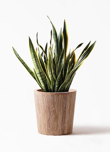 観葉植物 サンスベリア 10号 トラノオ ウッドプランター 付き