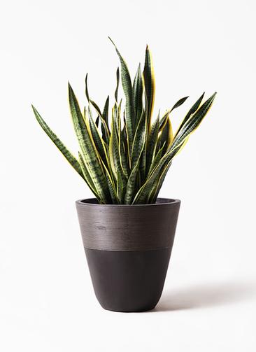 観葉植物 サンスベリア 10号 トラノオ ジュピター 黒 付き