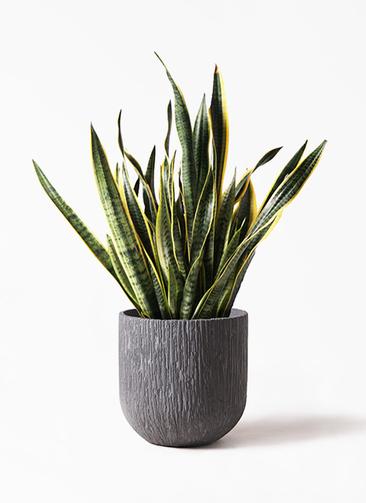 観葉植物 サンスベリア 10号 トラノオ カルディナダークグレイ 付き