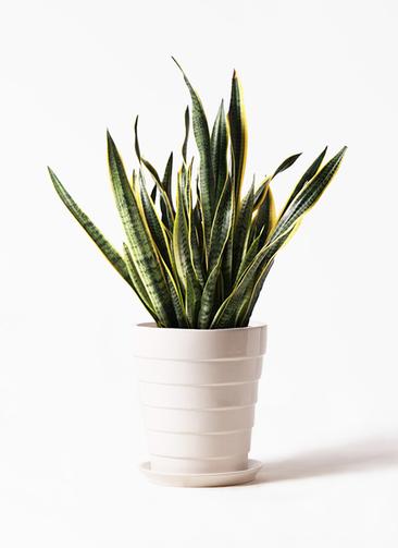 観葉植物 サンスベリア 10号 トラノオ サバトリア 白 付き