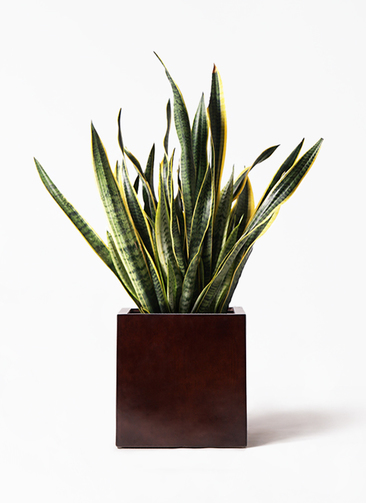 観葉植物 サンスベリア 10号 トラノオ MOKU キューブ 付き