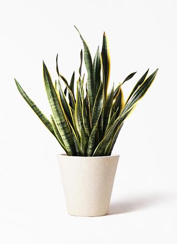 観葉植物 サンスベリア 10号 トラノオ フォリオソリッド クリーム 付き