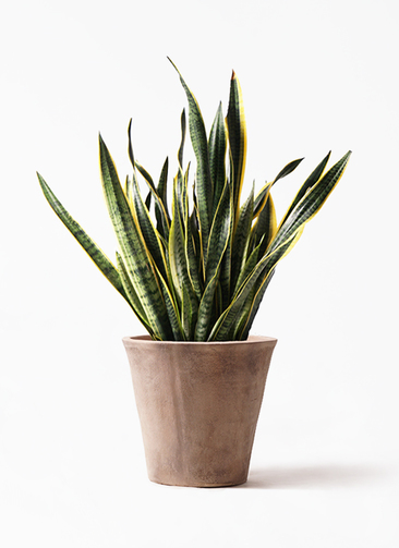 観葉植物 サンスベリア 10号 トラノオ ルーガ アンティコ ソリッド 付き