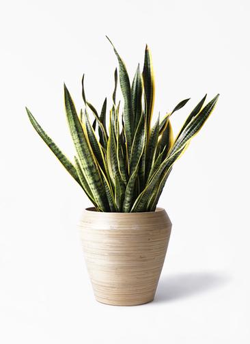 観葉植物 サンスベリア 10号 トラノオ アルマ ミドル 付き