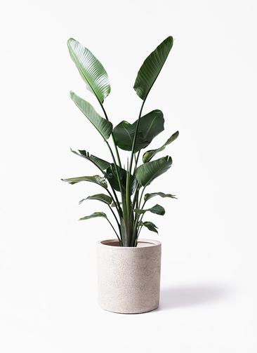 観葉植物 オーガスタ 10号 サンディ シリンダー 白 付き