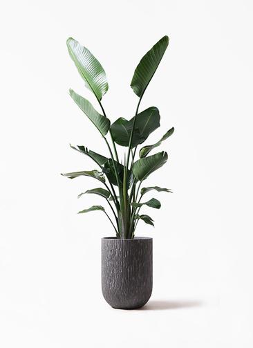 観葉植物 オーガスタ 10号 カルディナトールダークグレイ