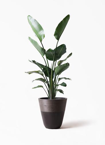 観葉植物 オーガスタ 10号 ジュピター 黒