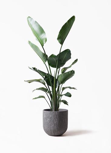 観葉植物 オーガスタ 10号 カルディナダークグレイ