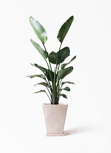 観葉植物 オーガスタ 10号 スクエアハット 白