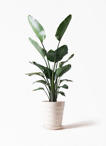観葉植物 オーガスタ 10号 サバトリア 白