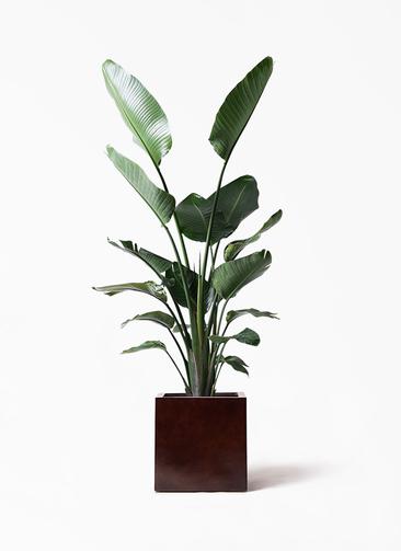 観葉植物 オーガスタ 10号 MOKU キューブ