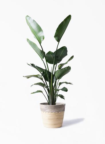 観葉植物 オーガスタ 10号 アルマ コニック 白 付き