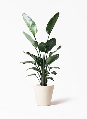 観葉植物 オーガスタ 10号 フォリオソリッド クリーム